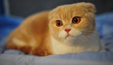Мечтаю о Шотландской Вислоухой Кошке!