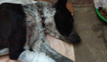 Собачка Лада со сломанной лапкой