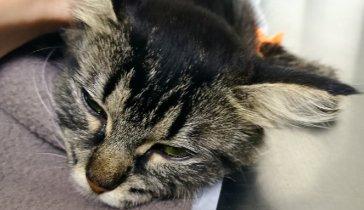 Моя кошка Кренделина нуждается в лечении после тяжелой операции